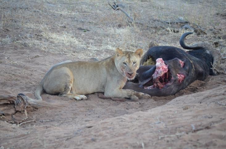 Lion and dead Buffalo